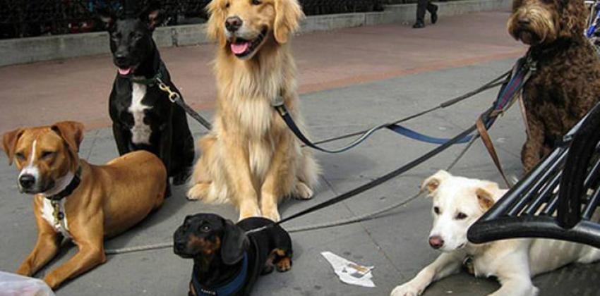 Cuidador de Cães